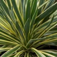 Yucca gloriosa Variegata - Adams Needle