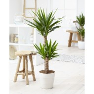 Yucca elephantipes - Indoor Yucca Tree - approx 80-100cms - Including White Display Pot