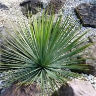 Yucca Rostrata - Hardy Beaked Yucca - LARGE