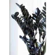 Zamioculcas Raven - Black Fern Arum