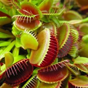 Venus Fly Trap - Dionaea Muscipula - Carnivorous Plant