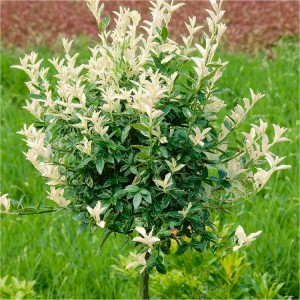 WINTER SALE - Euonymous fortunei Harlequin - Evergreen Standard Euonymus Tree