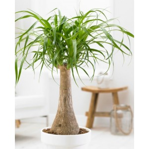 SPECIAL DEAL - Beaucarnea recurvata - Pony Tail Palm in White Display Pot