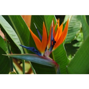 MOTHERS DAY - LARGE - Strelitzia reginae - Bird of Paradise Plant - Starting to Flower