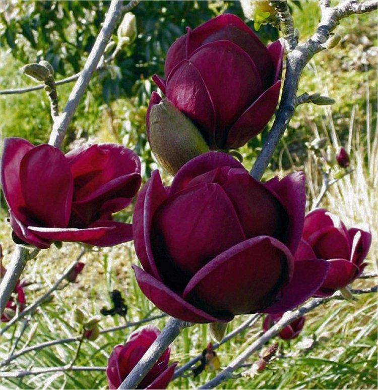 Magnolia Genie Magnolia Genie In Gardentags Plant Encyclopedia